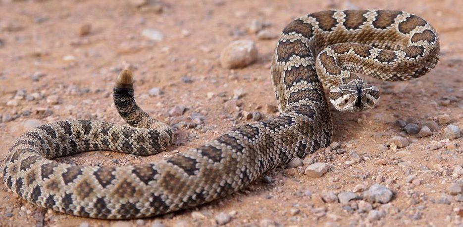 Salmonella linked to rattlesnake pills